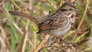 800px-Song_Sparrow_(8133659144)