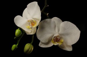 800px-Orchids_in_buds_and_in_flower