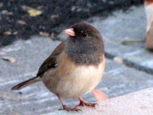 Oregon_Junco_(2010691027)