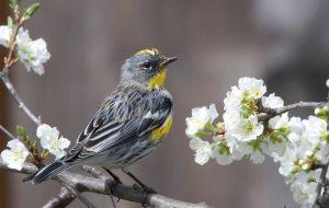 800px-Audubon's_Warbler_Setophaga_auduboni