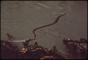 800px-WATER_SNAKE_(NATRIX)_IN_CLEAR,_SPRING_WATERS_OF_HA_HA_TONKA_LAKE_-_NARA_-_551374
