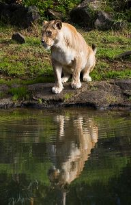 384px-Female_lion_drinking_from_a_stream_in_the_Auckland_Zoo,_Auckland_-_0543