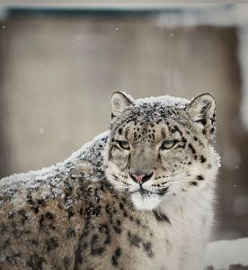 552px-Snow_leopard_in_snow_2
