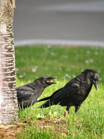449px-American_Crow_and_Fledgling