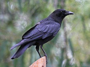 799px-American_Crow_SanDiego_RWD