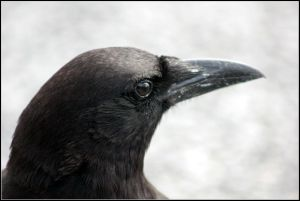 800px-AMERICAN_CROW_(6997591010)