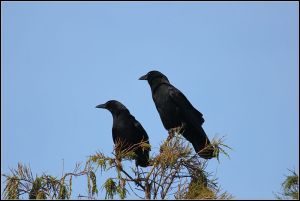 800px-AMERICAN_CROW_(7988152375)