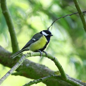 600px-Great_Tit