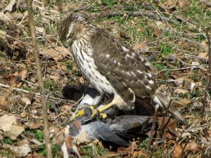 800px-Cooper's_Hawk_with_pigeon