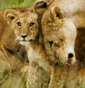 581px-Lion_cub_with_mother_-_cropped
