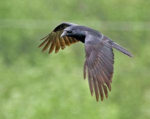 755px-Crow_in_Flight_-Delaware-8