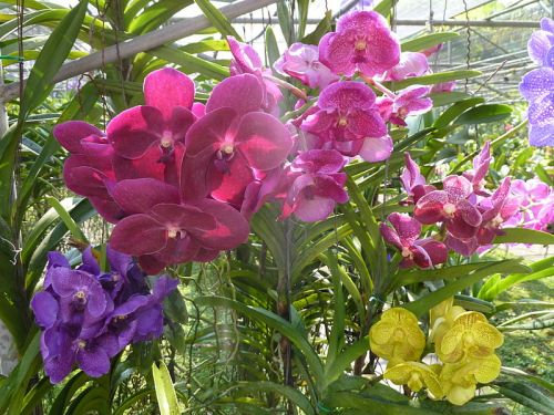 800px-Chiang_Mai_Orchids_P1110343