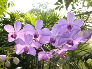 800px-Chiang_Mai_Orchids_P1110360