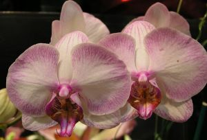 800px-Twin_orchids