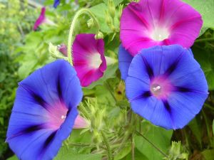 800px-Morning_glory