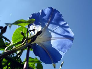 800px-Morning_glory_7