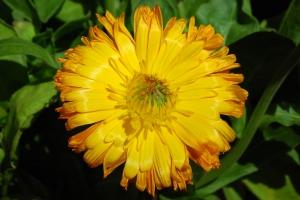 Calendula_officinalis_L