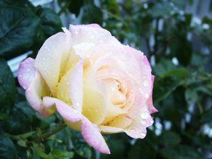 800px-Rose_Peace