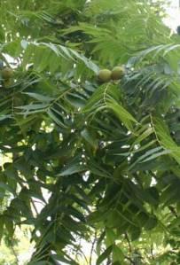 Black_walnut_in_tree_1