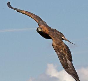652px-Golden_Eagle_in_flight_-_2