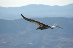 800px-Gymnogyps_californianus_-Los_Padres_National_Forest_,_California,_USA_-soaring-8