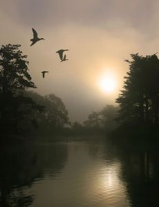 460px-Flying_Mallards_and_morning_fog