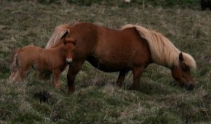 800px-Icelandic_horses,_mare_and_colt._(3629385947)