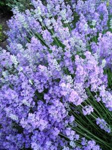 Dad's lavender