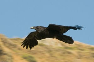 800px-3782_Common_Raven_in_flight