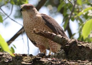 800px-Cooper's_Hawk_with_kill