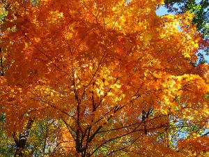 800px-Fall-orange-maple-tree_-_West_Virginia_-_ForestWander
