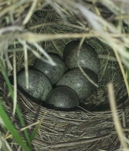 514px-Sprague's_Pipit,_Anthus_spragueii,_bird_eggs_in_domed_ground_nest,_Alberta_prairie_(3)