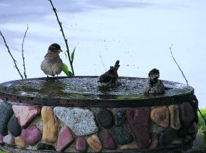 800px-Birds_bathing-b