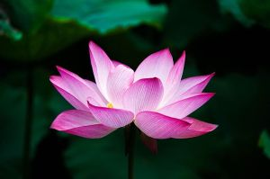 800px-lotus_flower_978659
