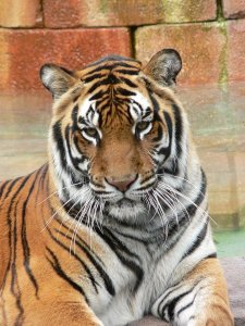 450px-panthera_tigris6