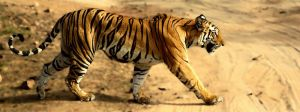 800px-tigress_in_bandhavgarh_np