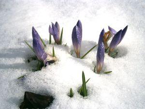800px-crocus_etruscus_in_snow