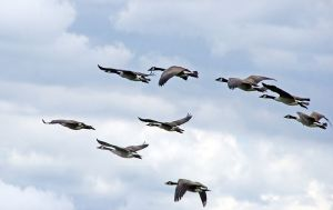 800px-branta_canadensis_canada_geese_in_flight_great_meadows_national_wildlife_refuge
