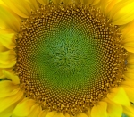 SunFlower_Closeup_Hungary